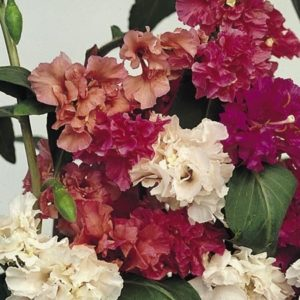 Pinkdose® Pinkdose Blumensamen: Clarkia Elegans Double Mixed Blumensamen Gardening – Garden Blumensamen Pack by